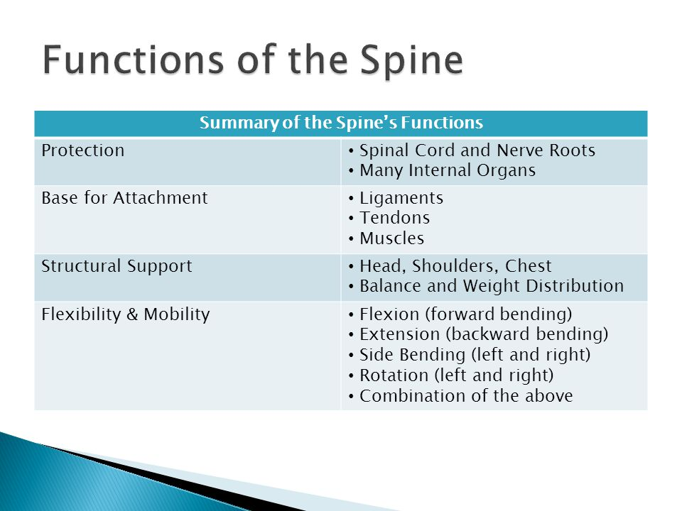 Summary of the Spine's Functions Protection Spinal Cord and Nerve Roots Many Internal Organs Base for Attachment Ligaments Tendons Muscles Structural