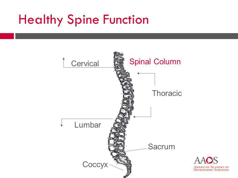 15 Sacrum Coccyx Cervical Thoracic Lumbar Spinal Column Healthy Spine Function