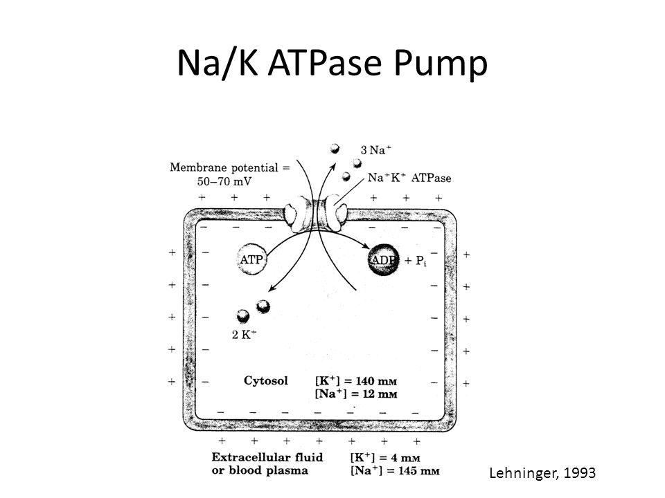 Na/K ATPase Pump Lehninger, 1993