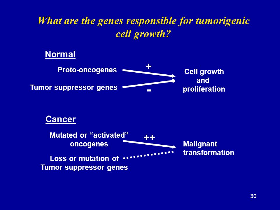 30 What are the genes responsible for tumorigenic cell growth? Normal Cancer Proto-oncogenes Cell growth and proliferation Tumor suppressor genes + -