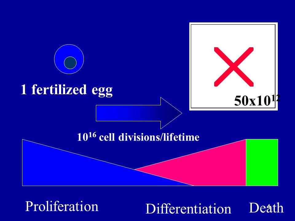4 1 fertilized egg 50x10 12 Proliferation Differentiation Death 10 16 cell divisions/lifetime