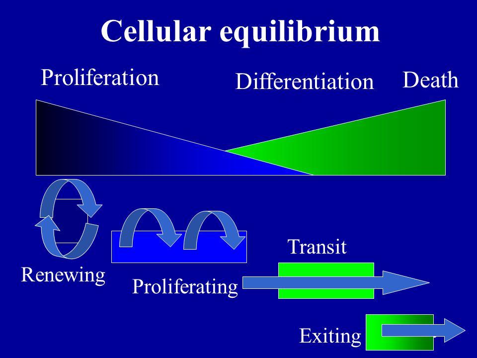 6 Proliferation DifferentiationDeath Cancer: disruption of cellular equilibrium
