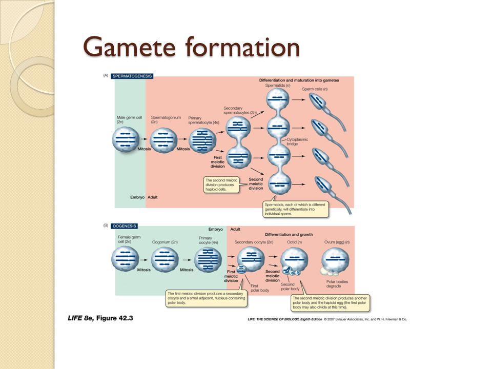 Gamete formation