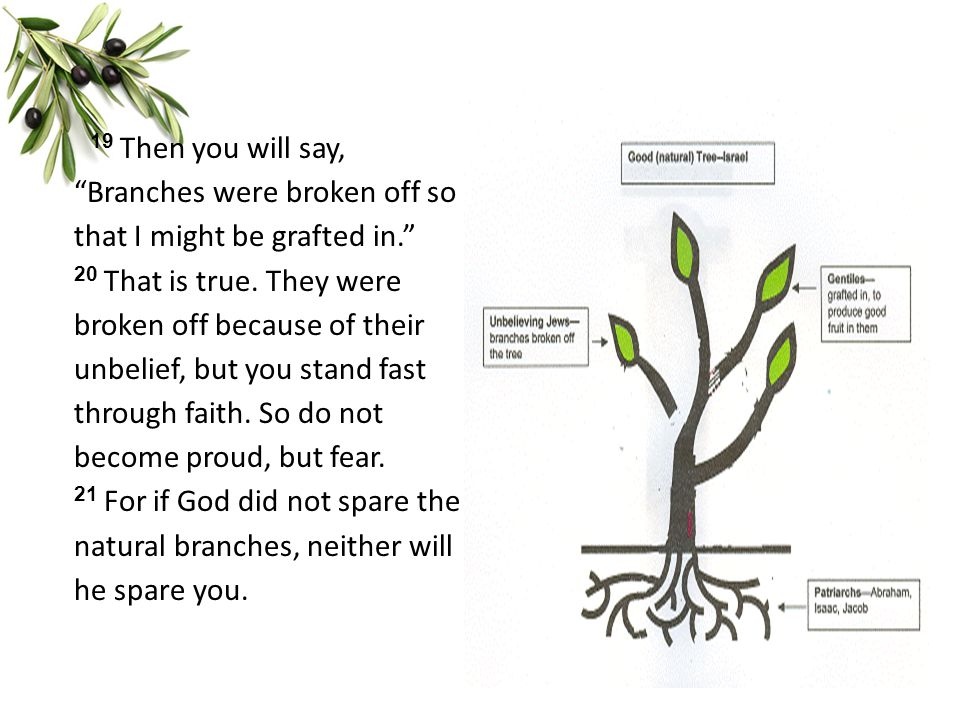 "19 Then you will say, ""Branches were broken off so that I might be grafted in."" 20 That is true. They were broken off because of their unbelief, but y"