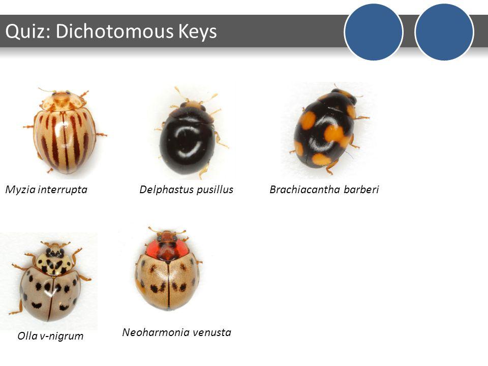 Myzia interruptaDelphastus pusillusBrachiacantha barberi Olla v-nigrum Neoharmonia venusta Quiz: Dichotomous Keys
