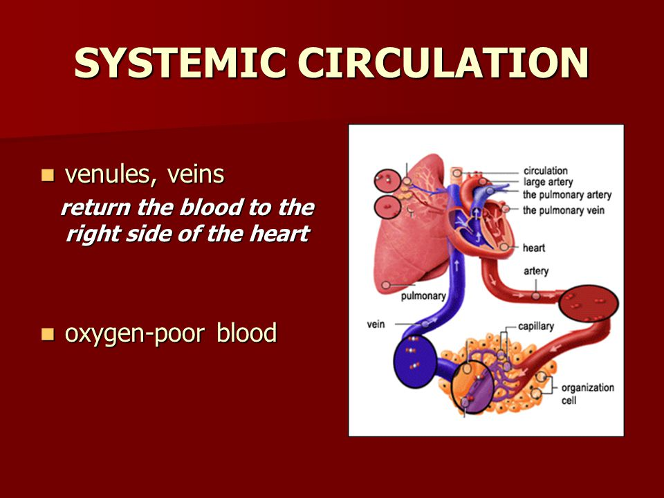 SYSTEMIC CIRCULATION venules, veins venules, veins return the blood to the right side of the heart return the blood to the right side of the heart oxy