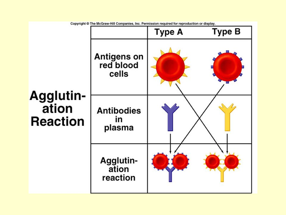 Well, it gets more complicated here, because there s another antigen to be considered - the Rh antigen.