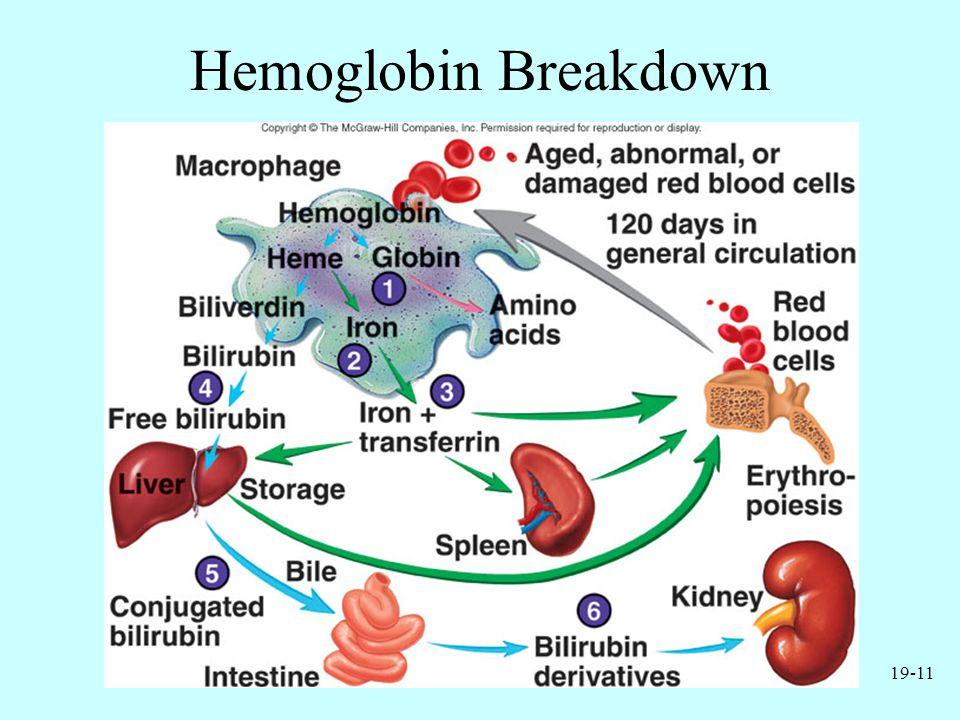 19-11 Hemoglobin Breakdown