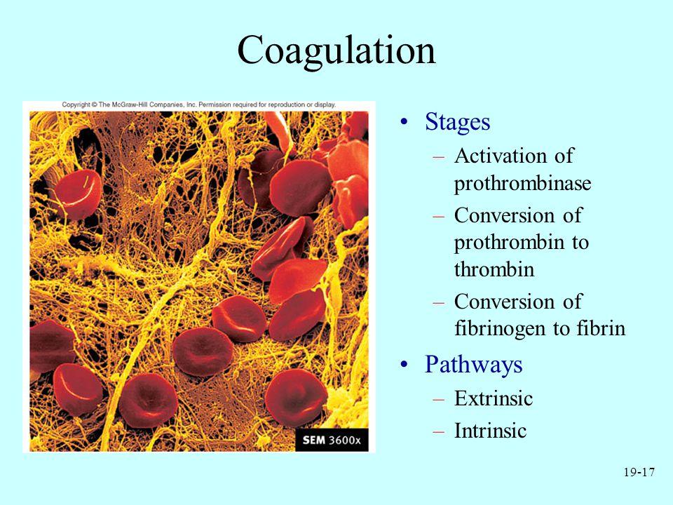 19-17 Coagulation Stages –Activation of prothrombinase –Conversion of prothrombin to thrombin –Conversion of fibrinogen to fibrin Pathways –Extrinsic –Intrinsic