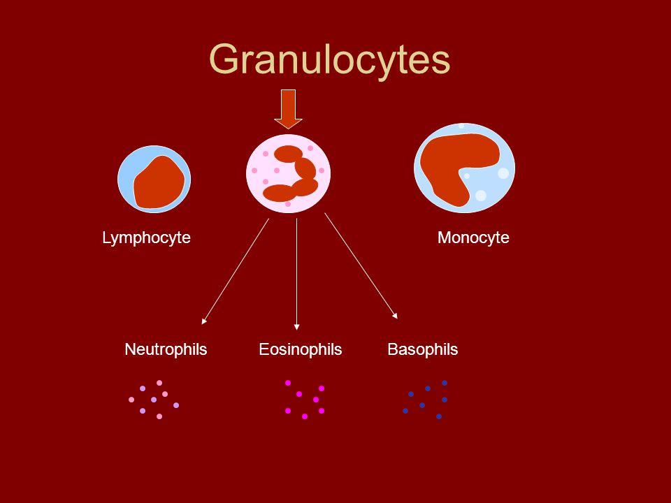 Granulocytes LymphocyteMonocyte NeutrophilsEosinophilsBasophils