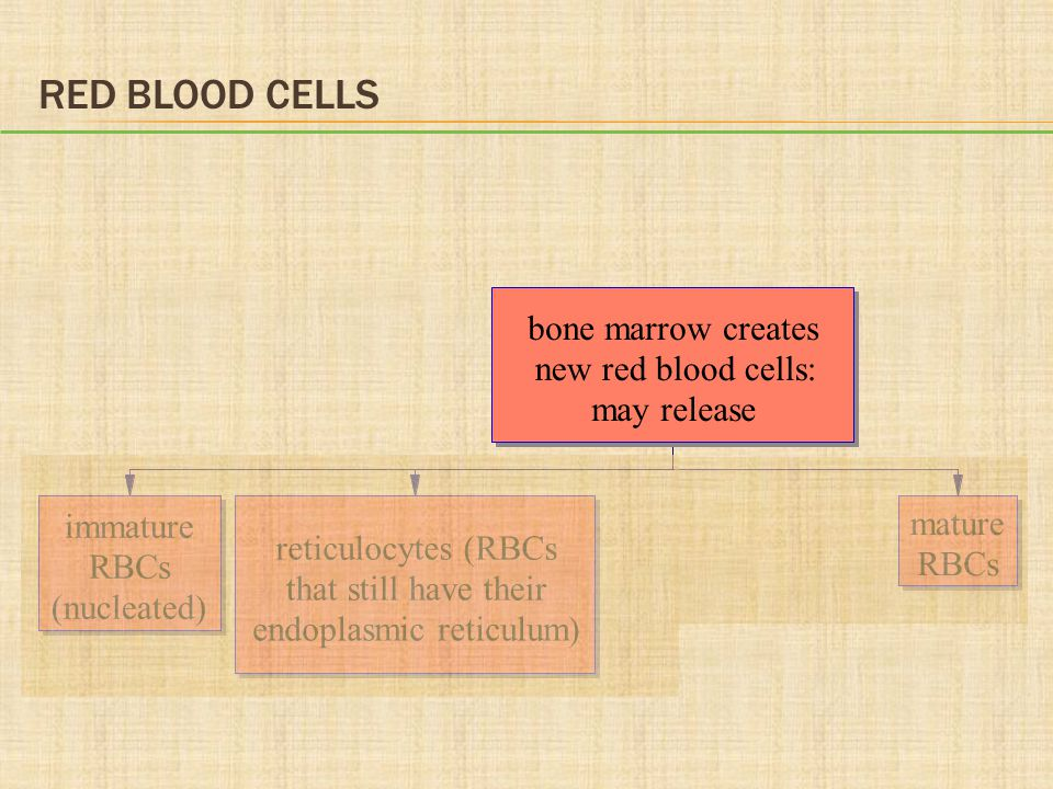 RED BLOOD CELLS bone marrow creates new red blood cells: may release immature RBCs (nucleated) reticulocytes (RBCs that still have their endoplasmic reticulum) mature RBCs
