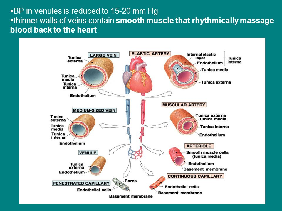  BP in venules is reduced to 15-20 mm Hg  thinner walls of veins contain smooth muscle that rhythmically massage blood back to the heart