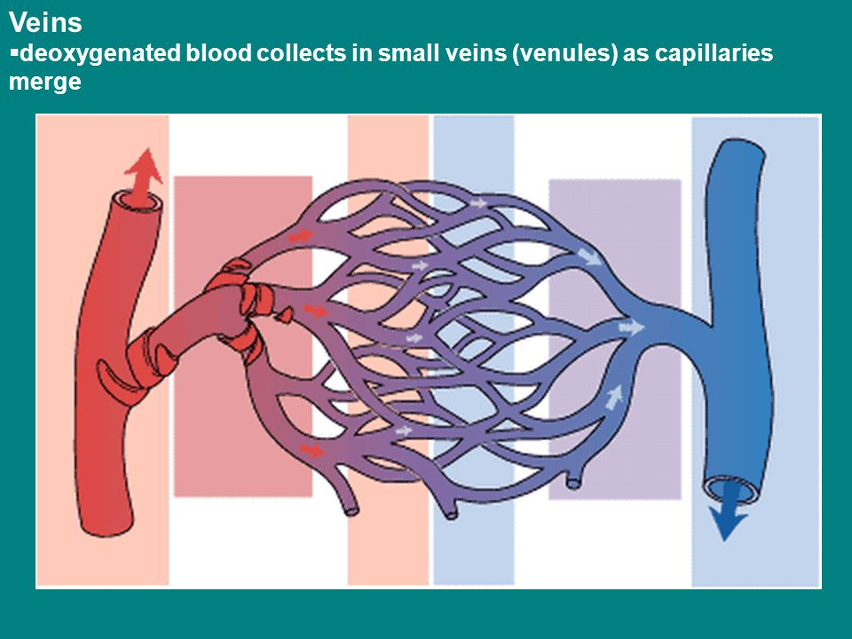 Veins  deoxygenated blood collects in small veins (venules) as capillaries merge