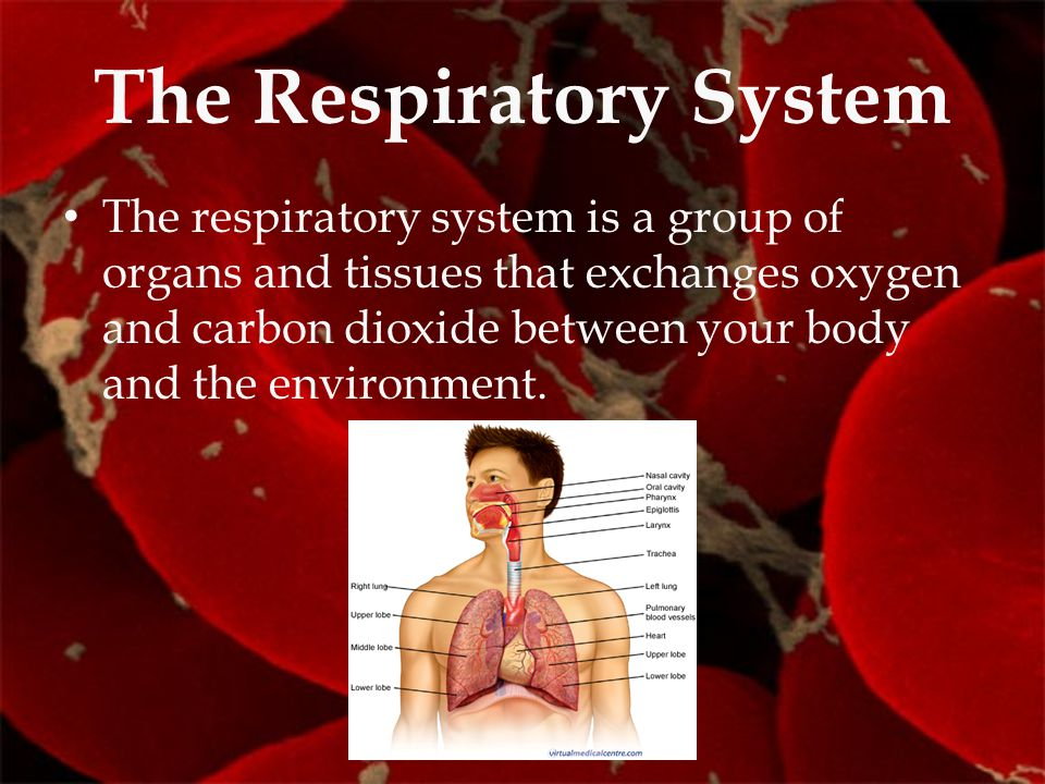The Respiratory System The respiratory system is a group of organs and tissues that exchanges oxygen and carbon dioxide between your body and the envi