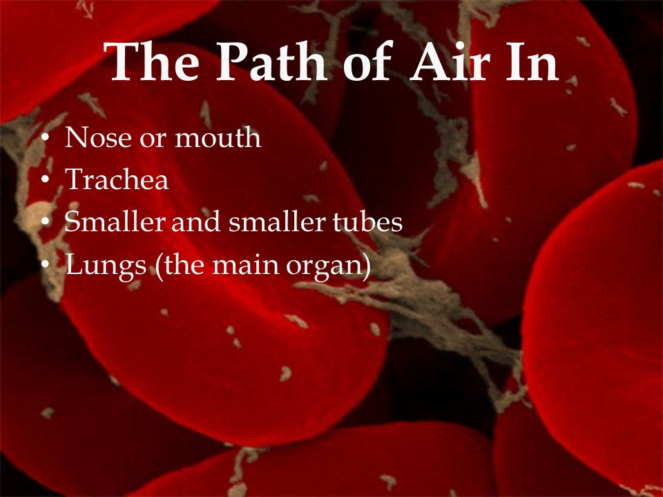 The Path of Air In Nose or mouth Trachea Smaller and smaller tubes Lungs (the main organ)