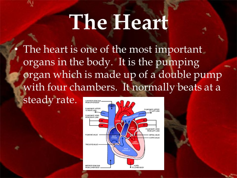 The Heart The heart is one of the most important organs in the body. It is the pumping organ which is made up of a double pump with four chambers. It