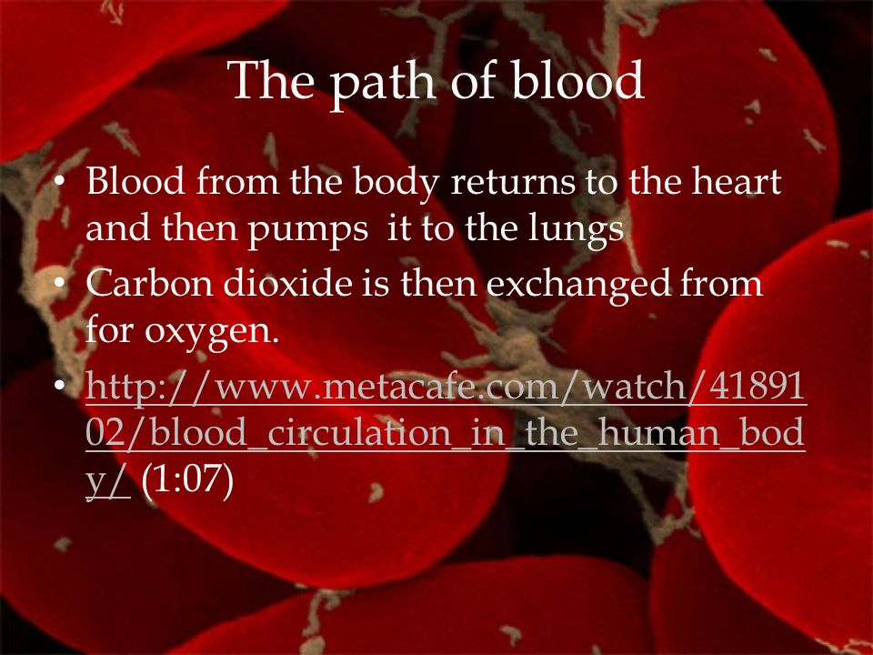 The path of blood Blood from the body returns to the heart and then pumps it to the lungs Carbon dioxide is then exchanged from for oxygen. http://www