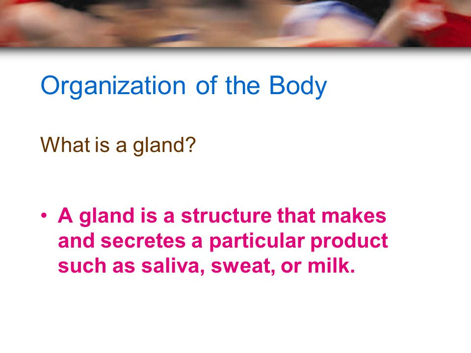 Organization of the Body What is a gland? A gland is a structure that makes and secretes a particular product such as saliva, sweat, or milk.