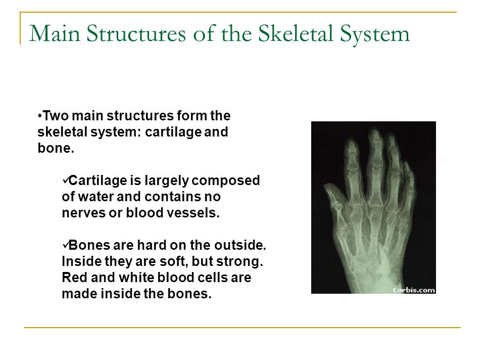 Main Structures of the Skeletal System Two main structures form the skeletal system: cartilage and bone. Cartilage is largely composed of water and co