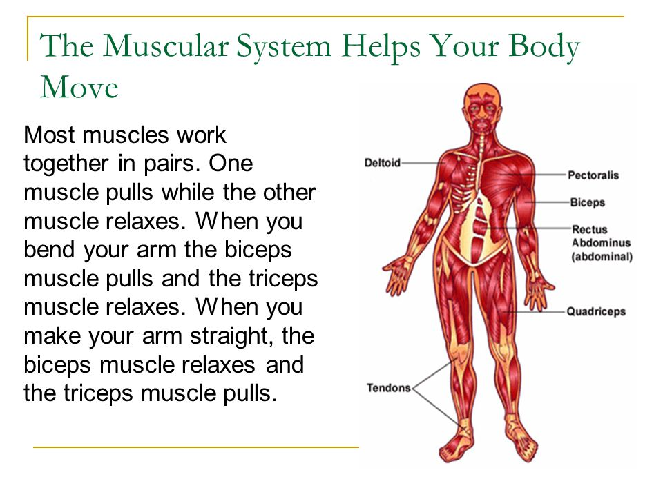The Muscular System Helps Your Body Move Most muscles work together in pairs. One muscle pulls while the other muscle relaxes. When you bend your arm