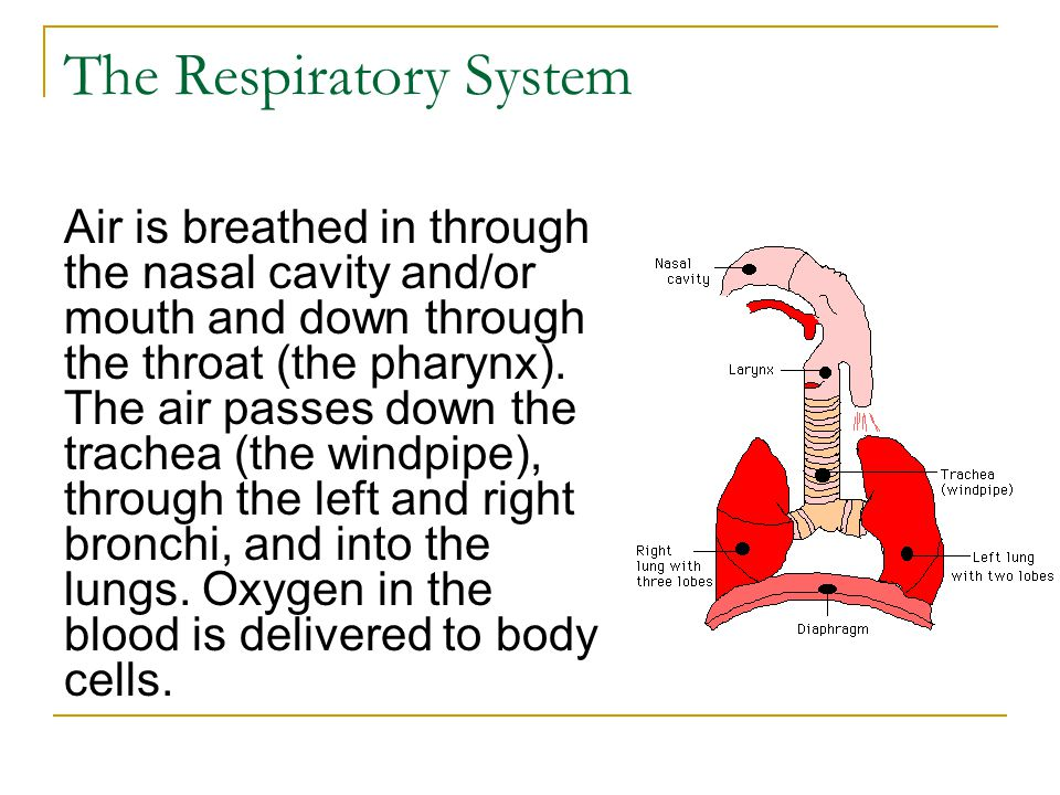 The Respiratory System Air is breathed in through the nasal cavity and/or mouth and down through the throat (the pharynx). The air passes down the tra