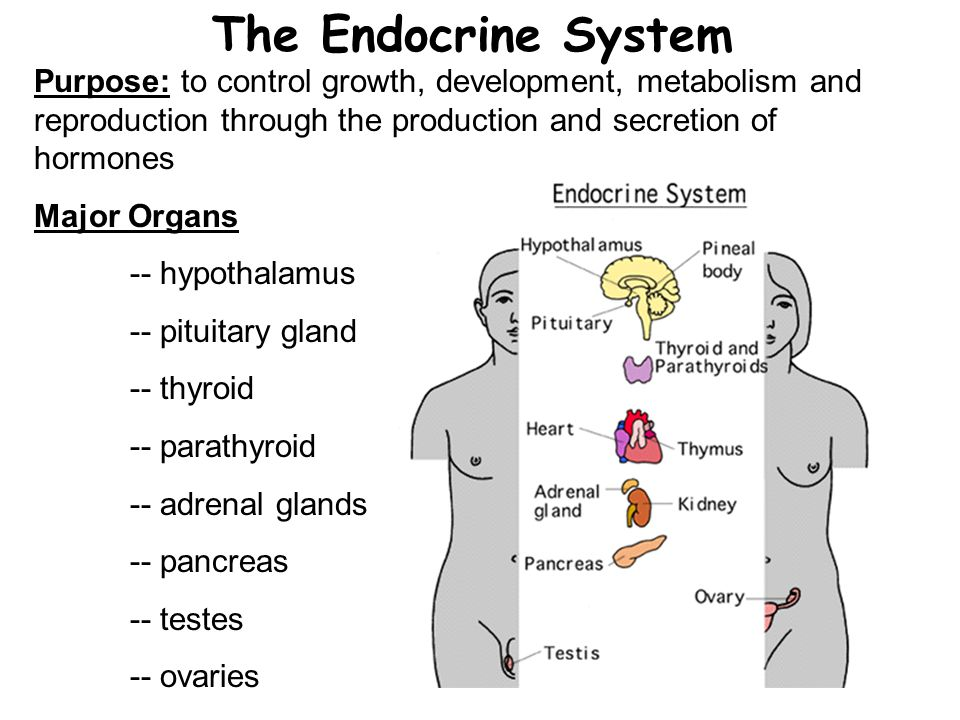 The Endocrine System Purpose: to control growth, development, metabolism and reproduction through the production and secretion of hormones Major Organs -- hypothalamus -- pituitary gland -- thyroid -- parathyroid -- adrenal glands -- pancreas -- testes -- ovaries