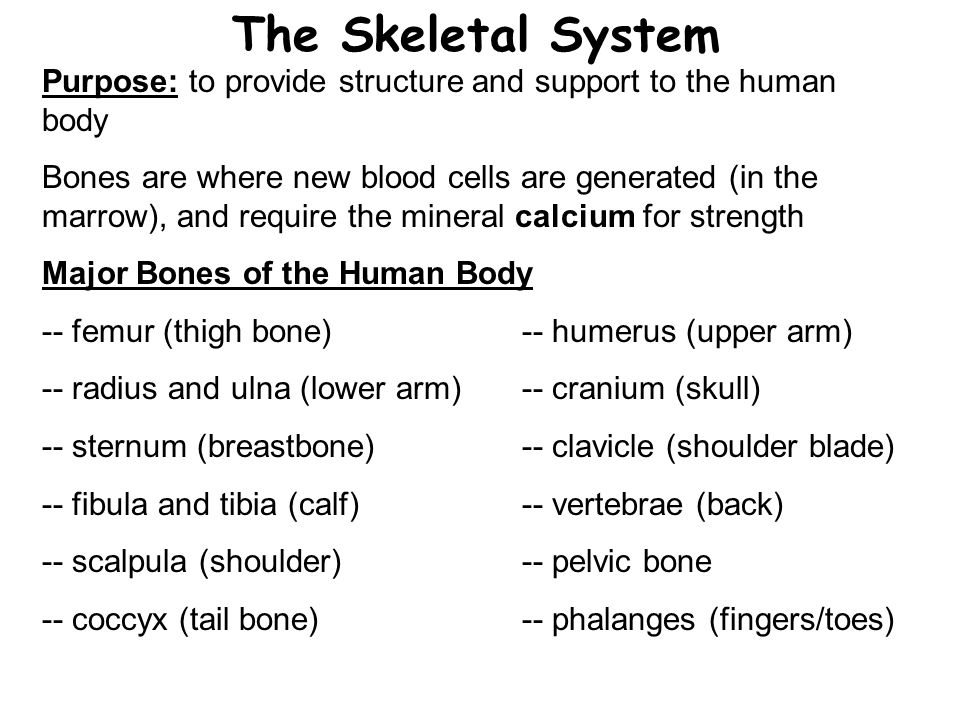 The Skeletal System Purpose: to provide structure and support to the human body Bones are where new blood cells are generated (in the marrow), and require the mineral calcium for strength Major Bones of the Human Body -- femur (thigh bone)-- humerus (upper arm) -- radius and ulna (lower arm)-- cranium (skull) -- sternum (breastbone)-- clavicle (shoulder blade) -- fibula and tibia (calf)-- vertebrae (back) -- scalpula (shoulder)-- pelvic bone -- coccyx (tail bone)-- phalanges (fingers/toes)