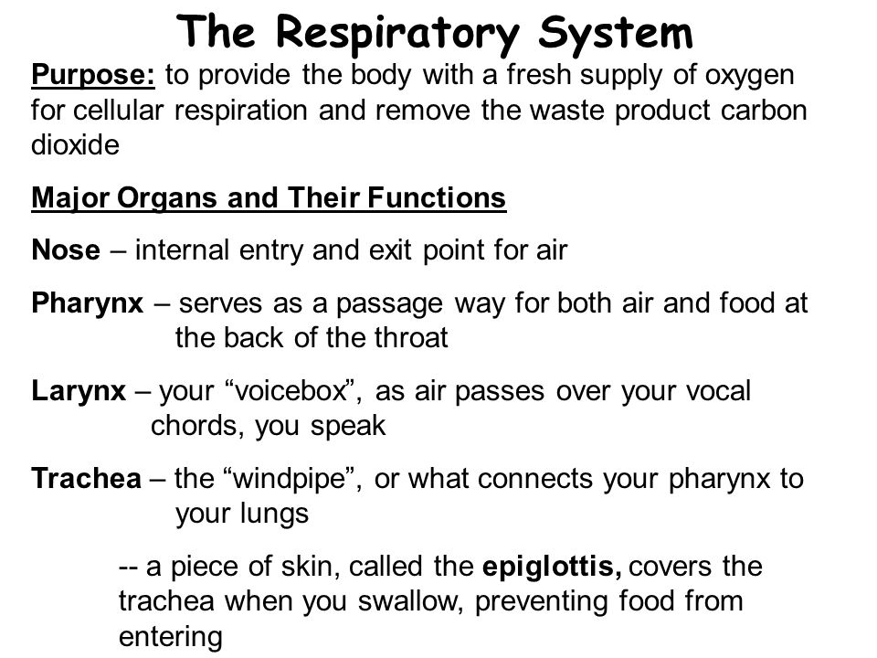 The Respiratory System Purpose: to provide the body with a fresh supply of oxygen for cellular respiration and remove the waste product carbon dioxide Major Organs and Their Functions Nose – internal entry and exit point for air Pharynx – serves as a passage way for both air and food at the back of the throat Larynx – your voicebox , as air passes over your vocal chords, you speak Trachea – the windpipe , or what connects your pharynx to your lungs -- a piece of skin, called the epiglottis, covers the trachea when you swallow, preventing food from entering