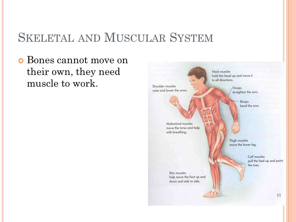 S KELETAL AND M USCULAR S YSTEM Bones cannot move on their own, they need muscle to work.