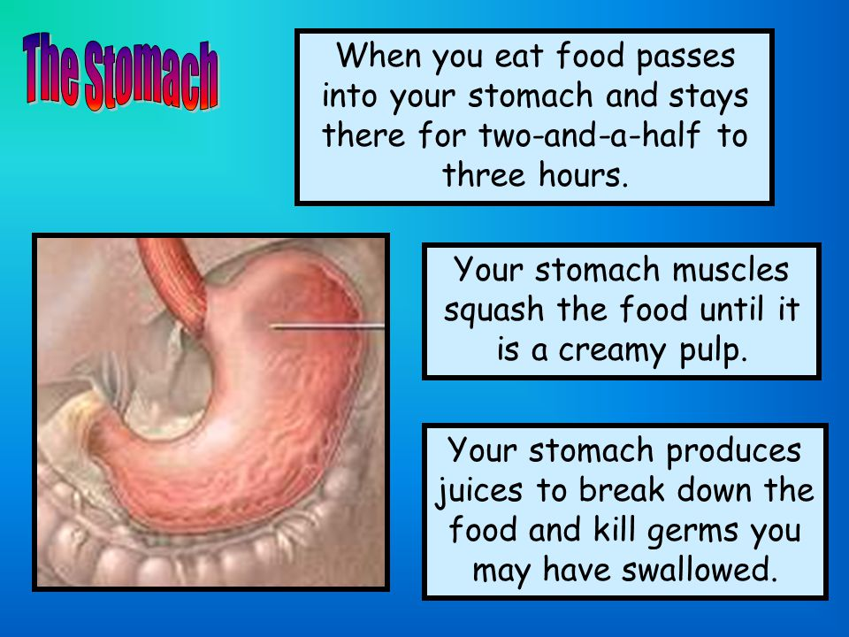 When you eat food passes into your stomach and stays there for two-and-a-half to three hours. Your stomach muscles squash the food until it is a cream