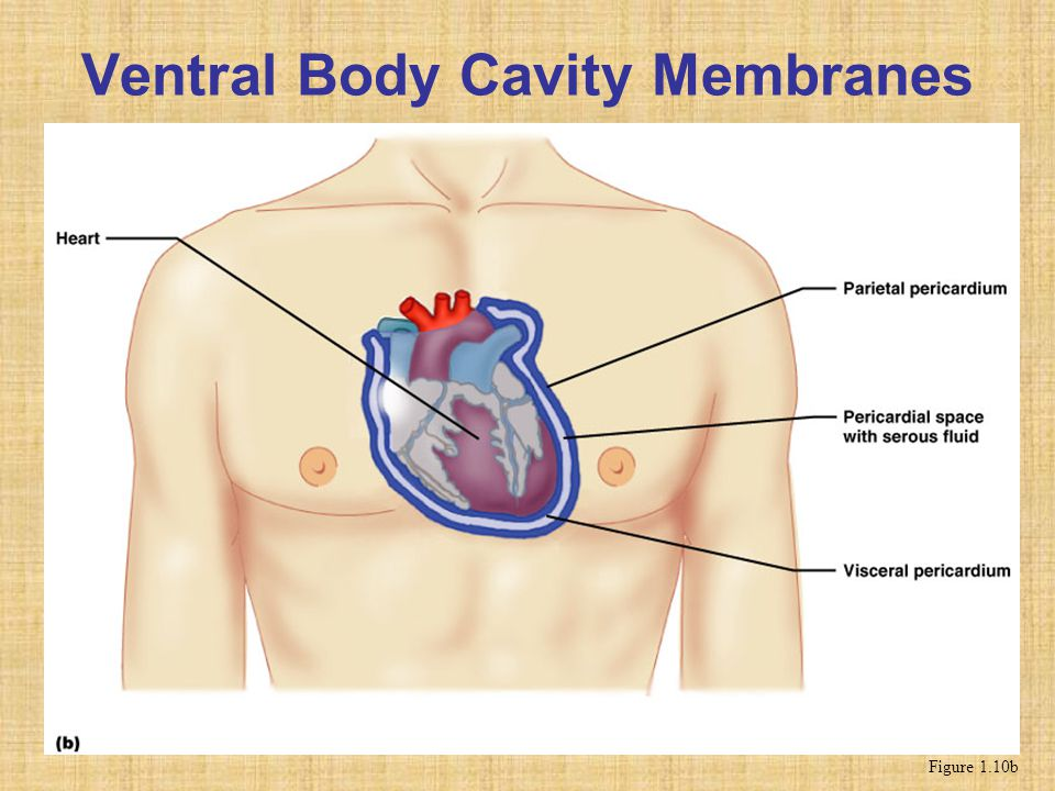 Ventral Body Cavity Membranes Figure 1.10b