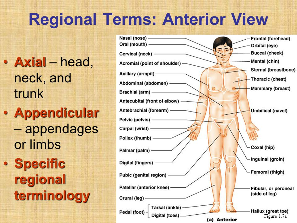 Regional Terms: Anterior View AxialAxial – head, neck, and trunk AppendicularAppendicular – appendages or limbs Specific regional terminologySpecific