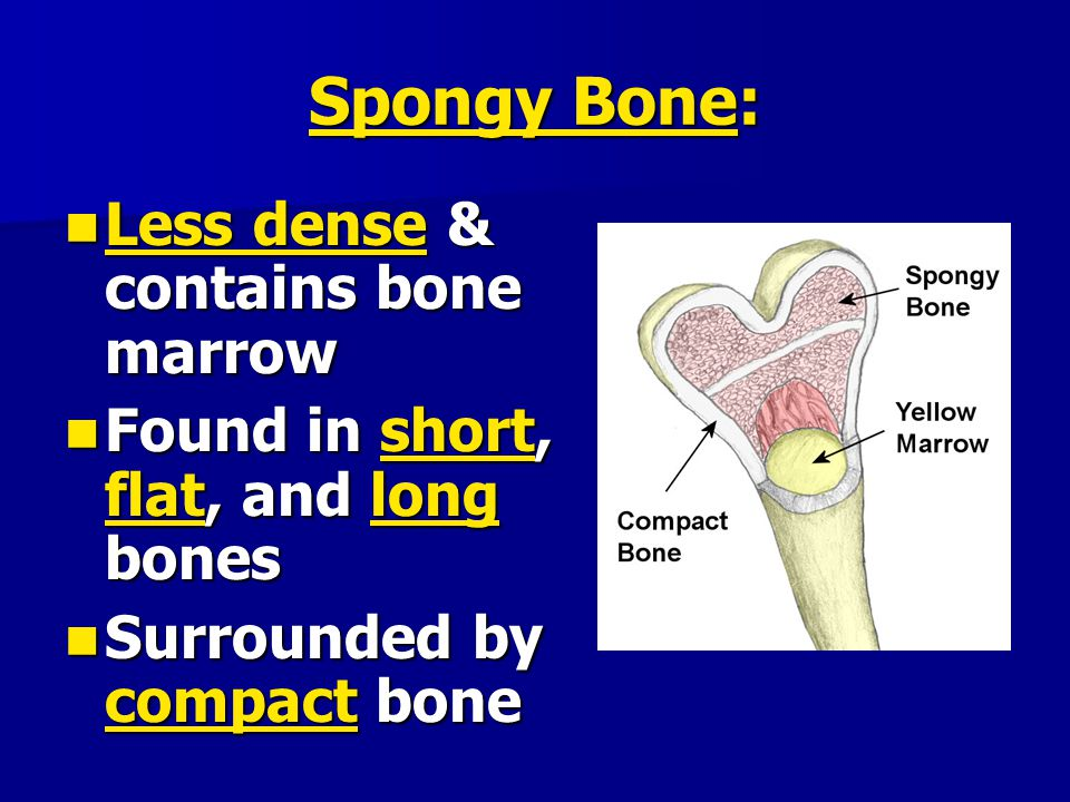 Less dense & contains bone marrow Less dense & contains bone marrow Found in short, flat, and long bones Found in short, flat, and long bones Surround