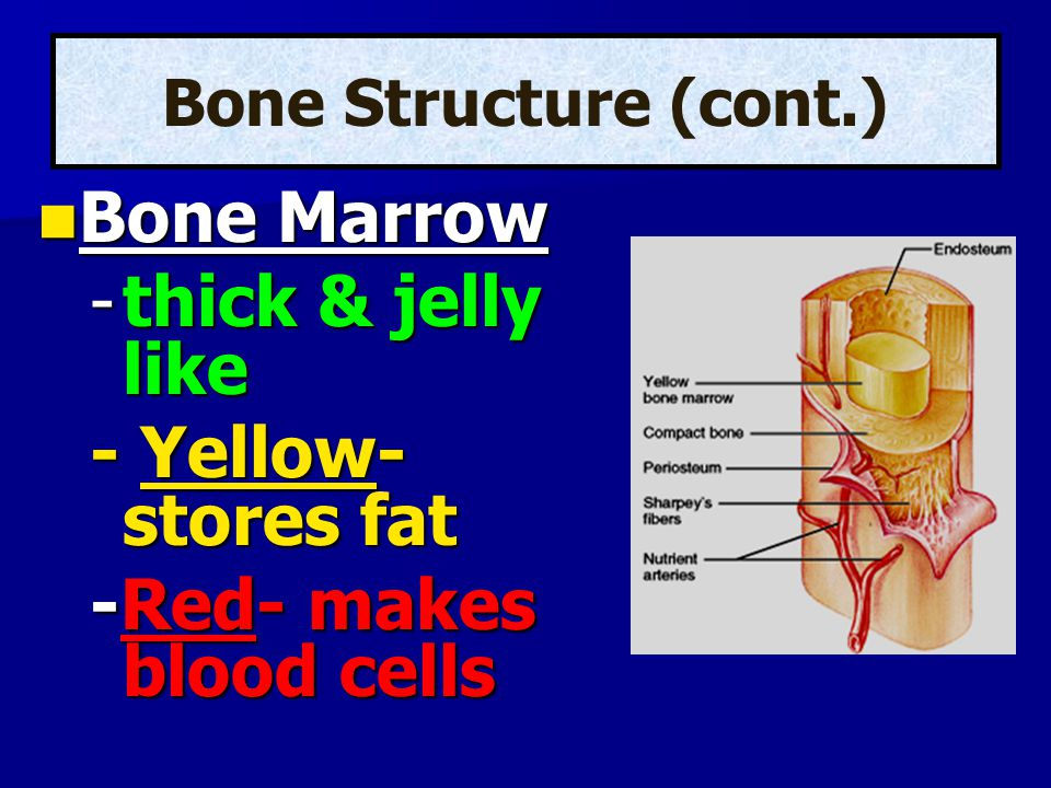 Bone Marrow Bone Marrow -thick & jelly like - Yellow- stores fat -Red- makes blood cells Bone Structure (cont.)