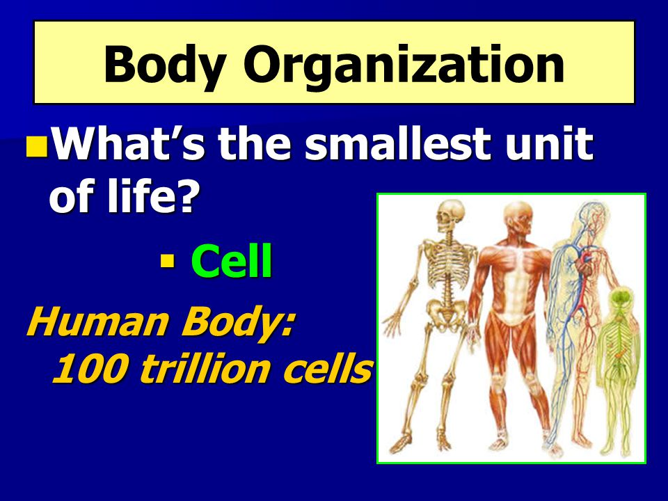 Body Organization What's the smallest unit of life? What's the smallest unit of life?  Cell Human Body: 100 trillion cells