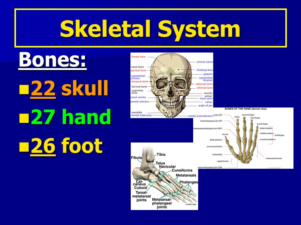 Simple fracture: Simple fracture: –Bone breaks but does not come through the skin Types of Fractures: