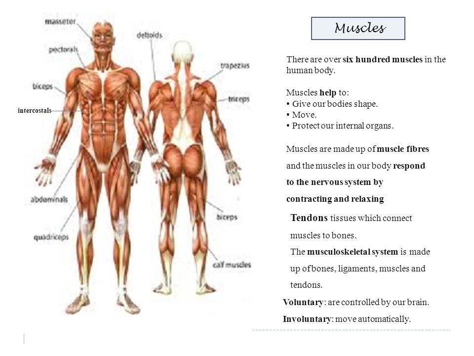 intercostals Muscles There are over six hundred muscles in the human body. Muscles help to: Give our bodies shape. Move. Protect our internal organs.