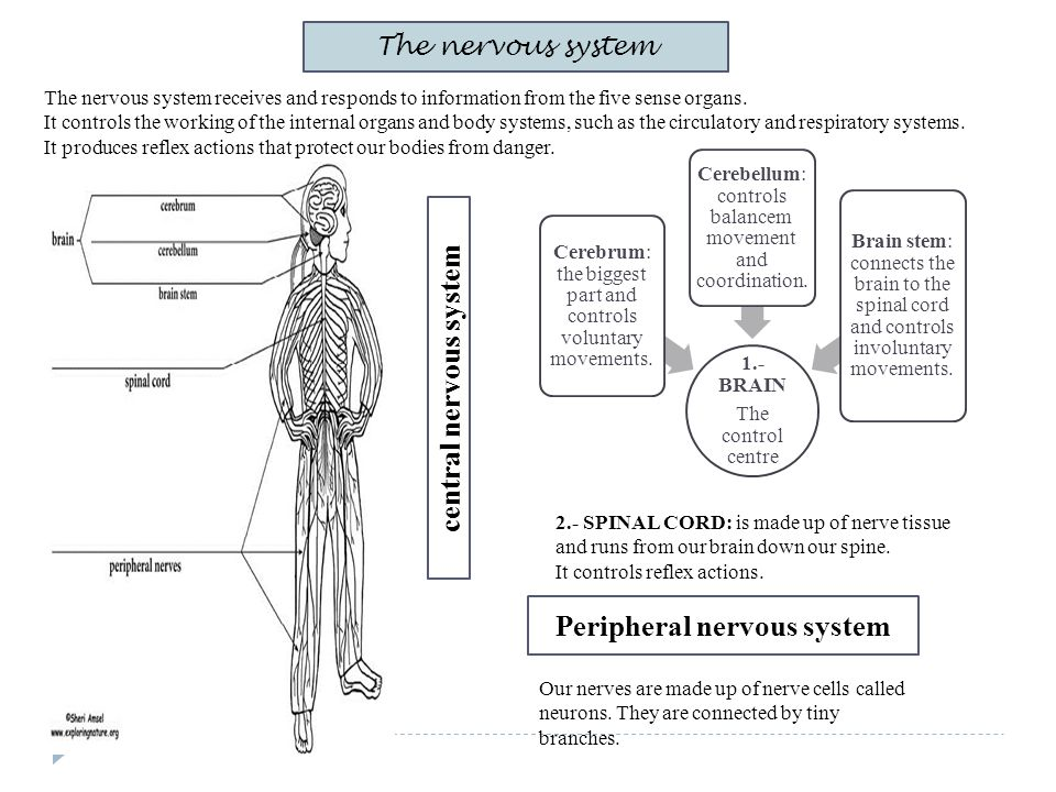 The nervous system The nervous system receives and responds to information from the five sense organs. It controls the working of the internal organs