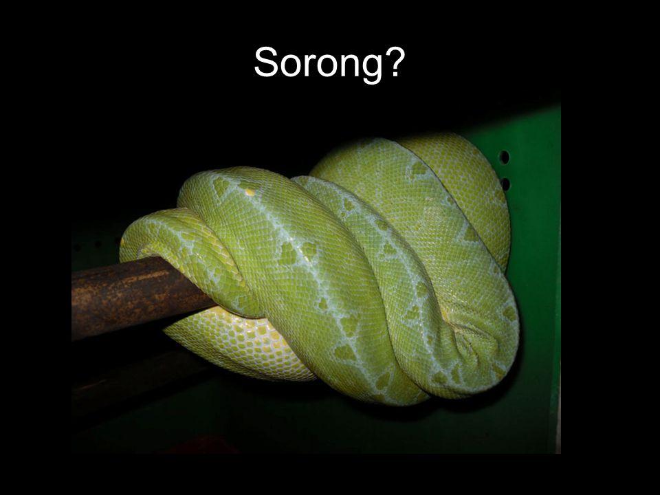 Sorong?