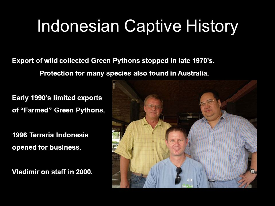 Indonesian Captive History Export of wild collected Green Pythons stopped in late 1970's. Protection for many species also found in Australia. Early 1