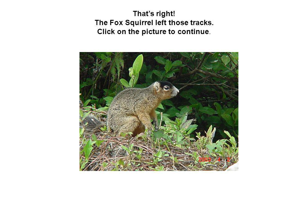 That's right! The Fox Squirrel left those tracks. Click on the picture to continue.