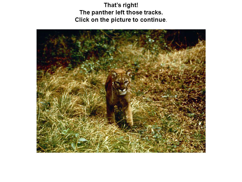 That's right! The panther left those tracks. Click on the picture to continue.