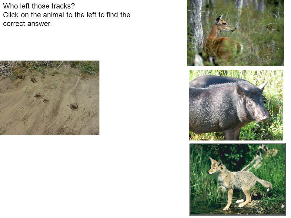 Who left those tracks Click on the animal to the left to find the correct answer.