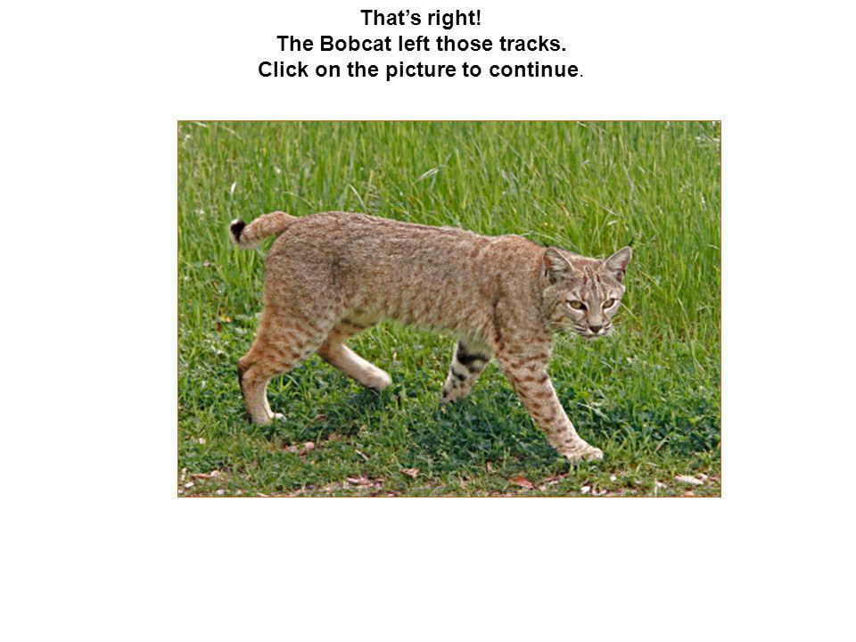 That's right! The Bobcat left those tracks. Click on the picture to continue.