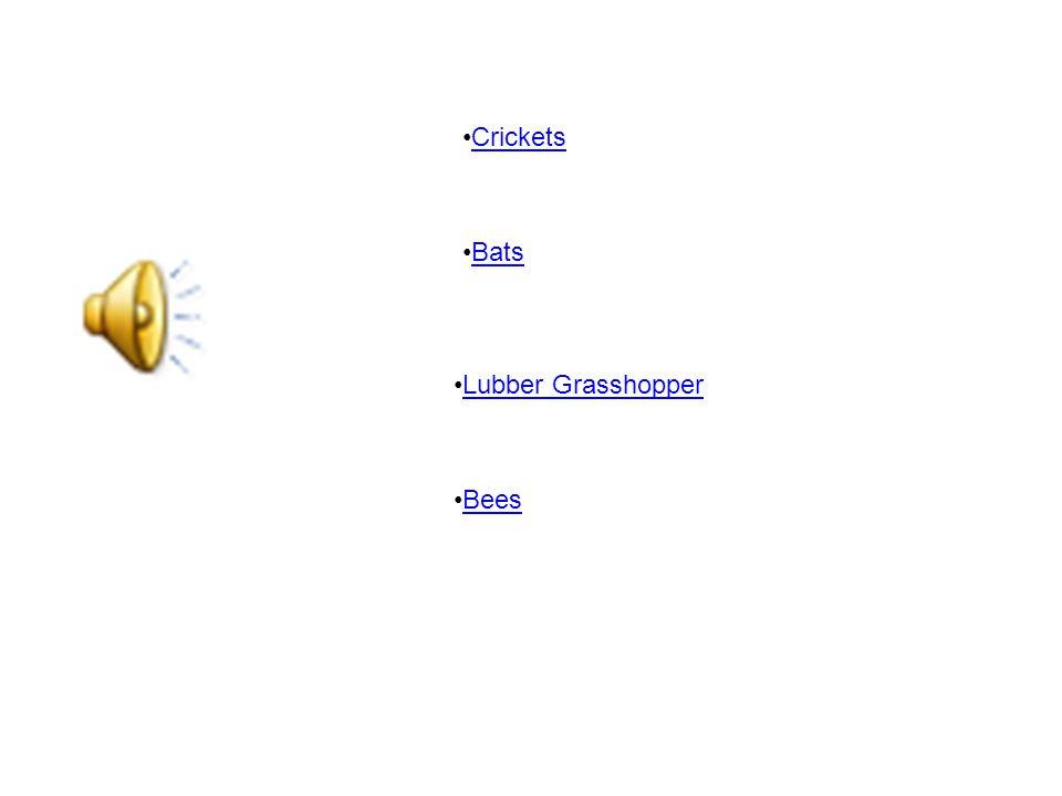 Crickets Lubber Grasshopper Bees Bats