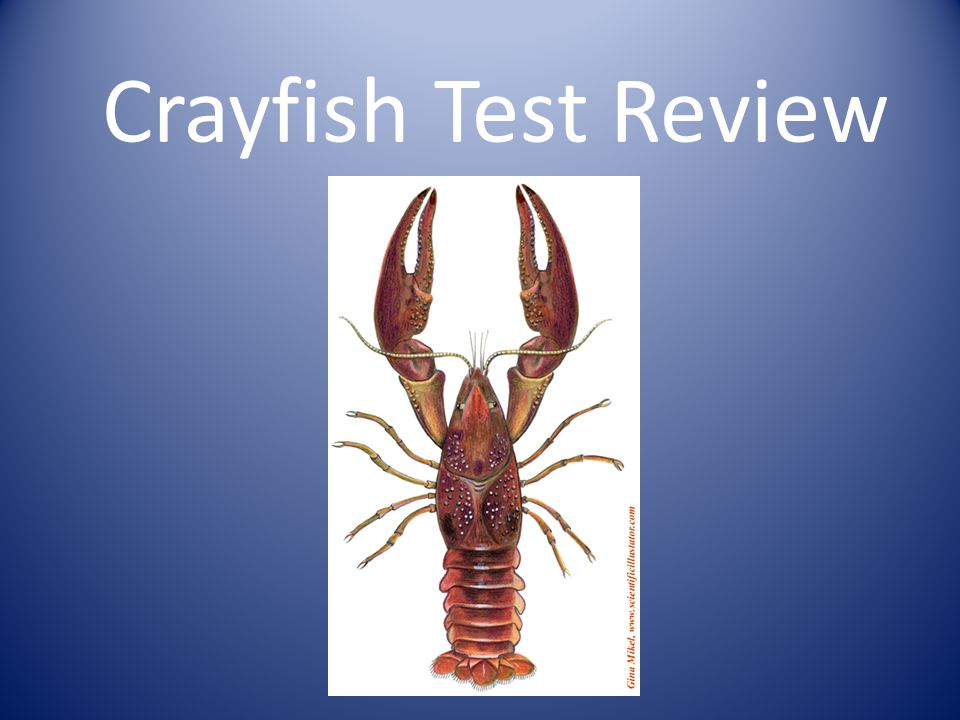 The exoskeleton does not grow as the crayfish eats and grows.