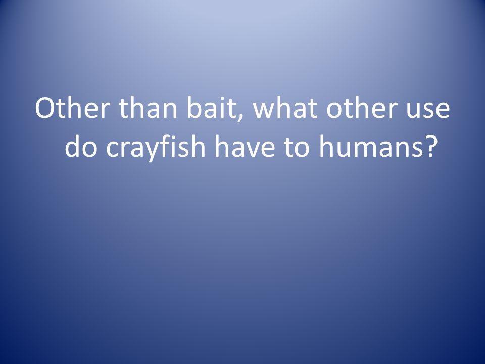 Other than bait, what other use do crayfish have to humans?