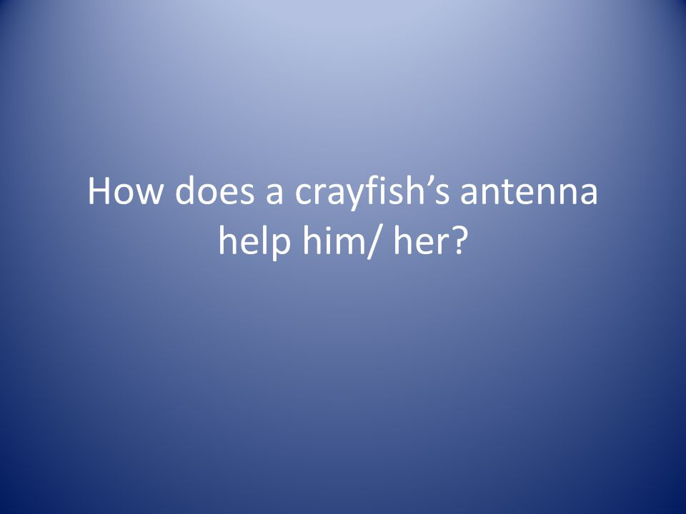 How does a crayfish's antenna help him/ her?