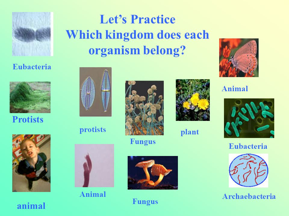 Let's Practice Which kingdom does each organism belong? Eubacteria Protists protists Animal Fungus plant Animal Eubacteria Archaebacteria animal