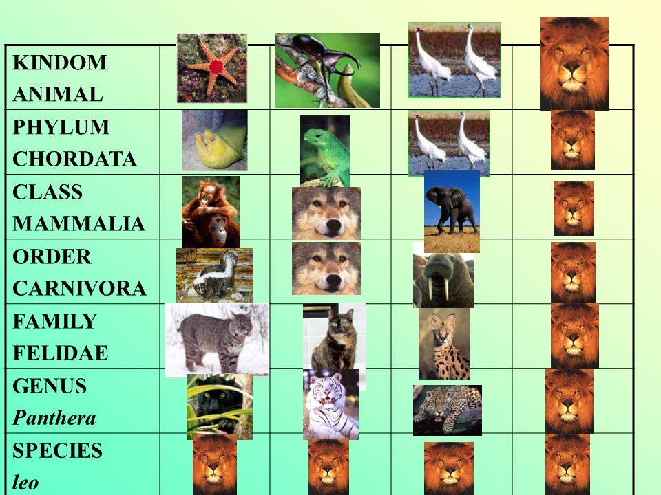 KINDOM ANIMAL PHYLUM CHORDATA CLASS MAMMALIA ORDER CARNIVORA FAMILY FELIDAE GENUS Panthera SPECIES leo